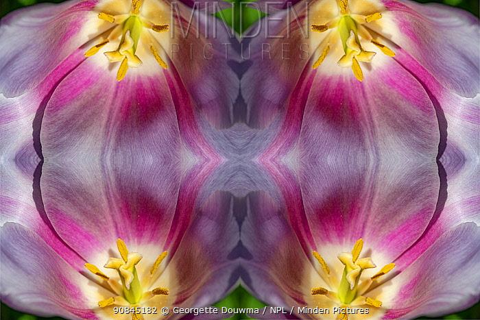 Kaleidoscopic montage of a tulip. London, UK.