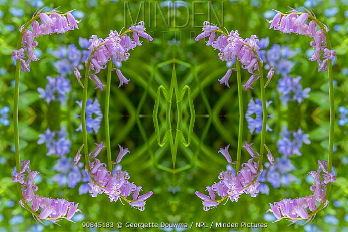 Common bluebell (Hyaconthoides non-scripta) Kaleidoscopic montage.