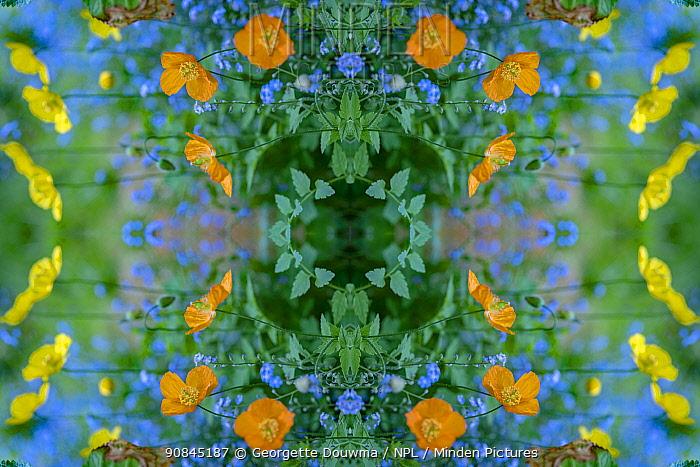 Welsh poppies (Papaver cambricum) and Forget-me-nots (Myosotis sylvatica). Kaleidoscopic montage.