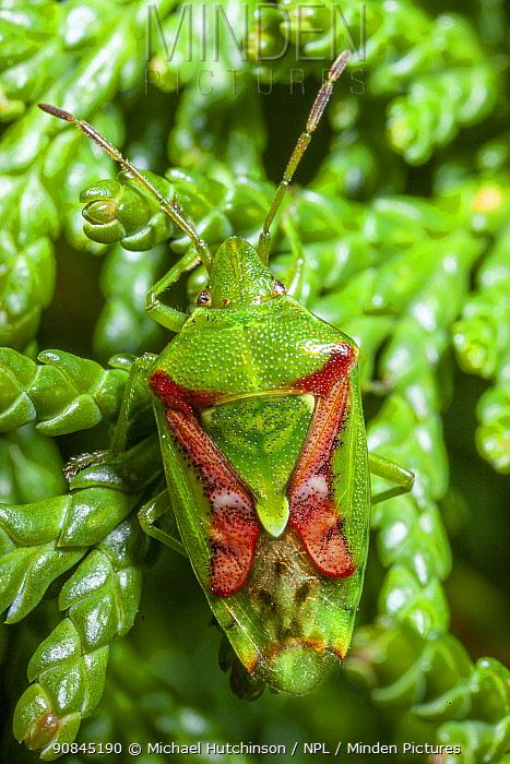 Juniper shield bug (Cyphostethus tristriatus) on leylandii, Bristol, UK, March