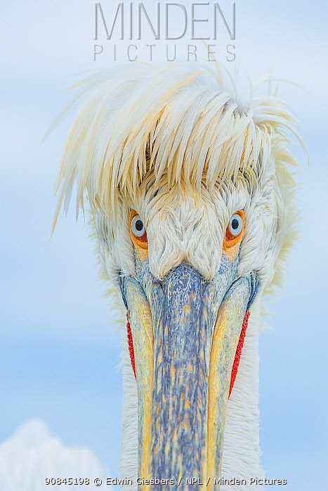 Dalmatian pelican (Pelecanus crispus) Lake Kerkini, Greece, portrait, in breeding plumage,