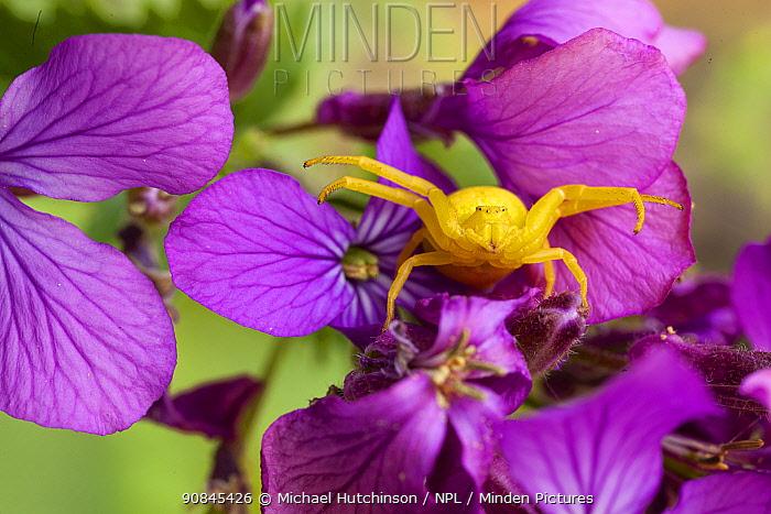 Goldenrod crab spider (Misumena vatia) in hunting pose on Honesty flowers, Bristol, UK April,