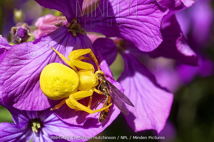 Goldenrod crab spider (Misumena vatia) yellow female with hoverfly prey, Bristol, UK, April