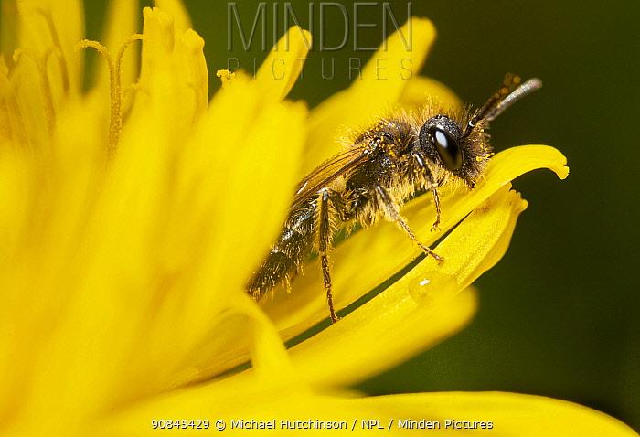 Mining bee (Andrena minutula) male on dandelion, Bristol, UK, March