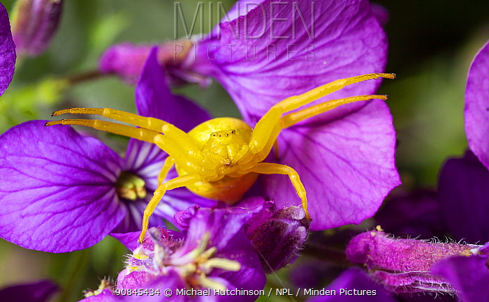 Goldenrod crab spider (Misumena vatia) in hunting pose on Honesty flowers, Bristol, UK, April.