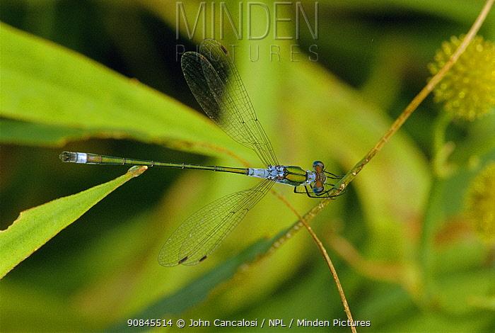 Emerald damselfly portrait {Lestes sponsa} UK