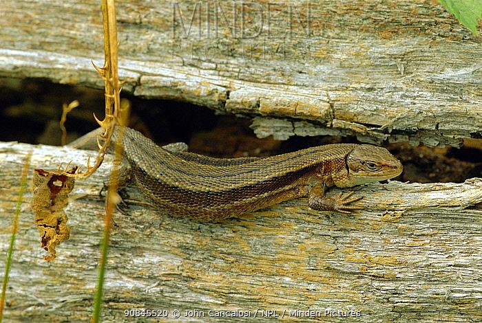 Viviparous / Common lizard portrait {Lacerta vivipara} UK