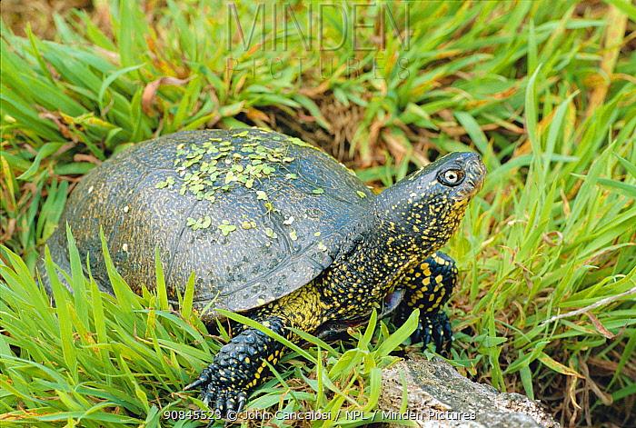 European pond turtle / terrapin portrait {Emys orbicularis} W Europe