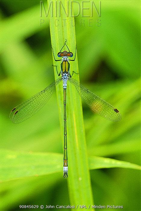 Emerald damselfly on leaf {Lestes sponsa} UK