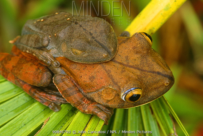 Map tree frogs pair in amplexus (Hyla geographica) Peru, captive