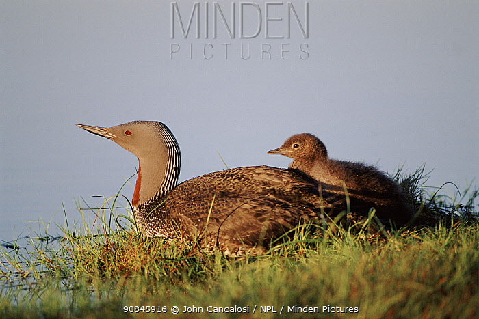 Red Throated Diver wwith chick, Scotland UK