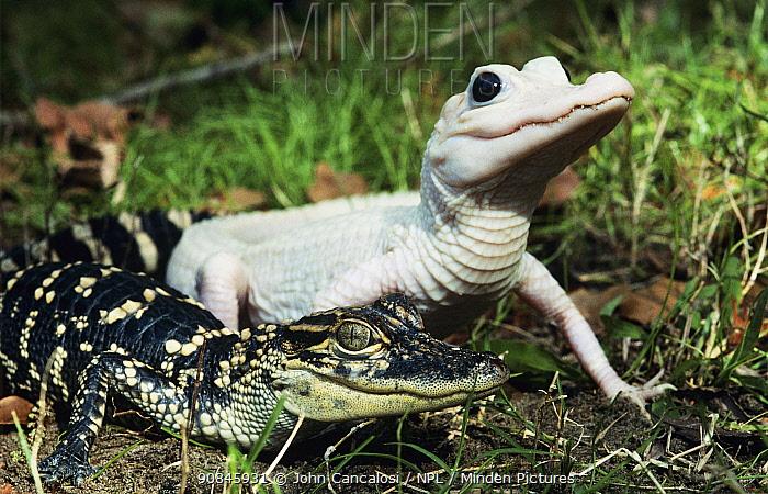 American alligators, juveniles showing normal and leucosistic (albino) colouration (Alligator mississippiensis) USA, captive