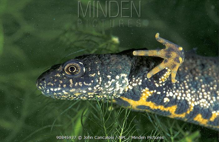 Crested newt (Triturus cristatus) UK