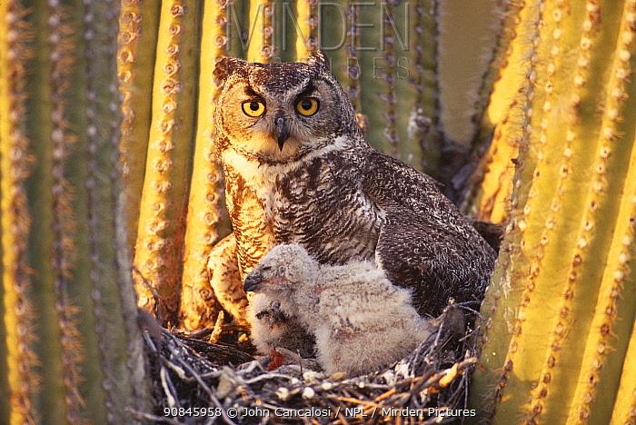 Great horned owl (Bubo virginianus) adult with chicks in nest Arizona, USA Sonoran Desert. Nest in saguaro cactus