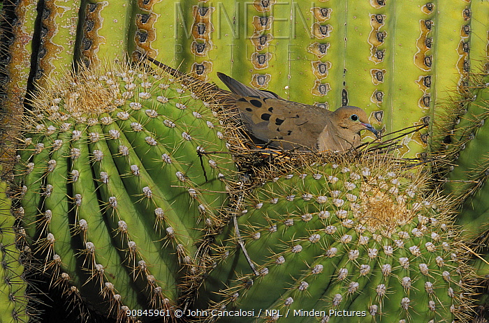 Mourning dove (Zenaida macroura) on nest in Saguaro, Arizona, USA Sonoran Desert. Nest in Saguaro cactus.