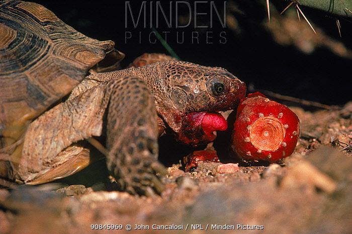 Desert tortoise (Gopherus agassizi) eating fruit Arizona, USA Sonoran Desert. Eating prickly pear cactus fruit.