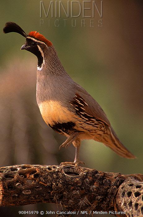 Gambel's quail adult male, Sonoran Desert, Arizona, USA