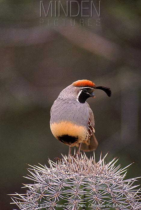 Gambel's quail (Callipepla gambelii) adult male spring Arizona USA Sonoran Desert