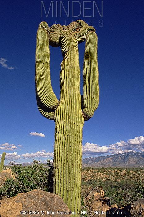 Cristate Saguaro cactus {Carnegiea gigantea} Arizona, USA.