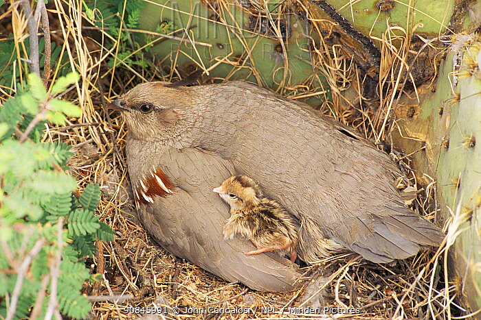 Gambel's quail on nest with chick {Callipepla gambelii} Arizona, USA.
