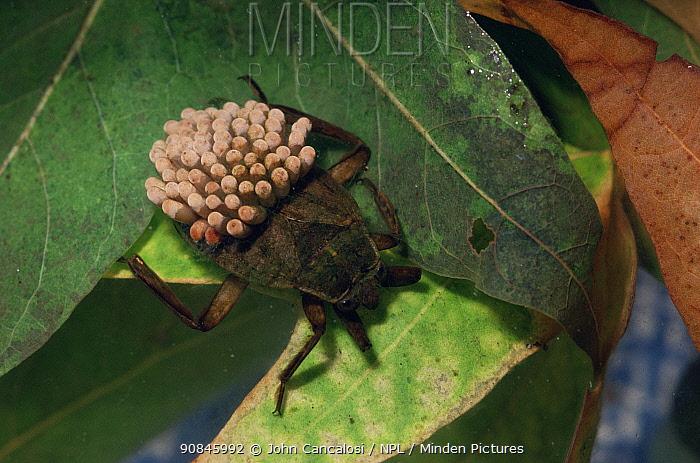 Giant water bug male with eggs on back {Belostoma flumineum} Arizona, USA, captive
