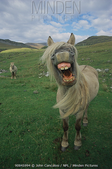 Rhum pony, mouth wide open, Isle of Rhum, Scotland, UK.