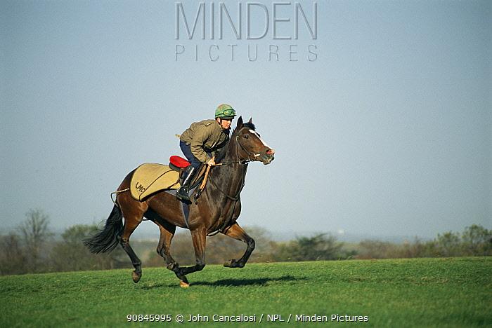 Thoroughbred race horse galloping {Equua caballus} UK.