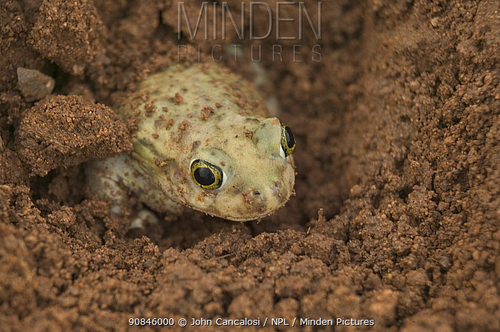 Couch's spadefoot toad male burrowing {Scaphiopus couchii} Arizona, USA.