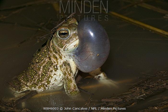 Great plains toad, male calling {Bufo cognatus} Arizona, USA.