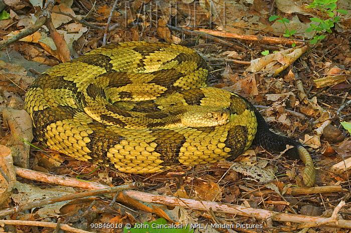 Timber rattlesnake {Crotalus horridus} male, USA.