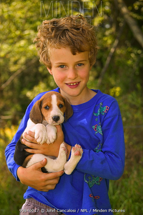 Boy holding Beagle puppy {Canis familiaris} USA.