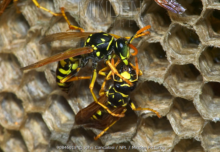 European paper wasp female (right) feeds regurgitated caterpillars to male. USA