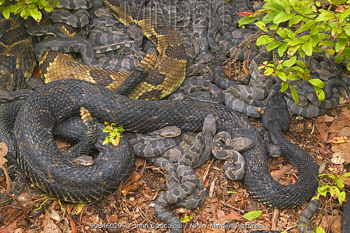 Female Timber rattlesnakes {Crotalus horridus} with newborn young, USA.