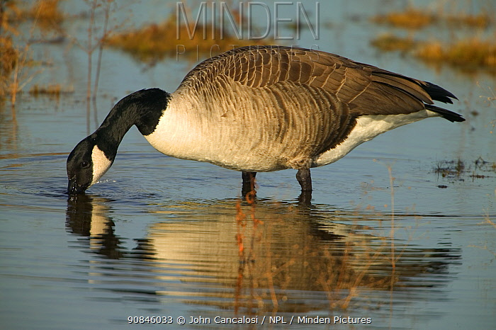 Canada goose drinking {Branta canadensis} New York, USA.