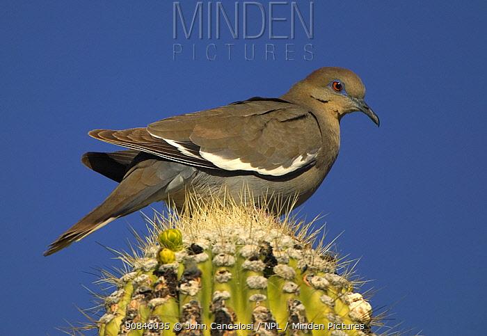 White winged dove {Zenaida asiatica} on Saguaro cactus, Sonora desert, Arizona, USA.