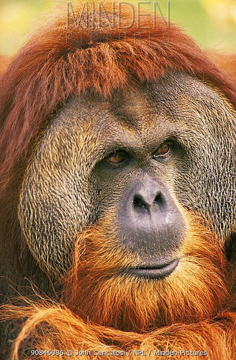 Male Orang utan portrait {Pongo pygmaeus} captive
