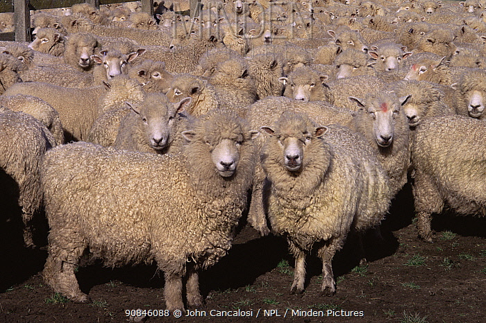 Flock of Domestic sheep {Ovis aries} New Zealand