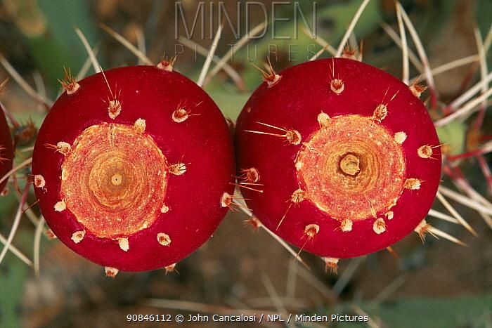 Prickly pear cactus fruit {Opuntia sp} Sonoran desert, Arizona, USA