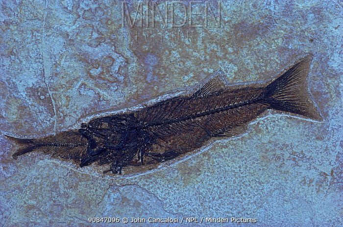 Fossil of fish, {Mioplosus labracoides} eating {Knightia spp}, Green River Farm, Wyoming, USA