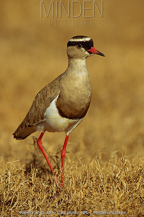Crowned plover {Vanellus coronatus} South Africa