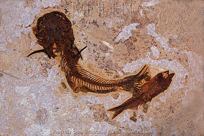 Fossil Catfish from the Eocene period, Green River Formation, Wyoming