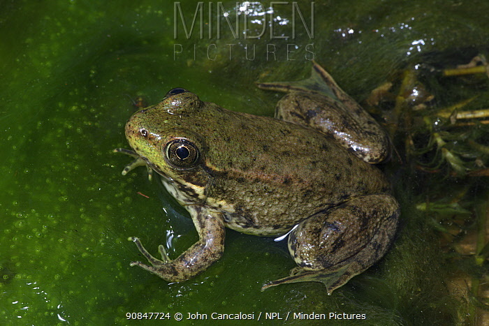 Green frog (Rana clamitans) recently metamorphosed frog showing remnants of tadpole tail, New York, USA, captive