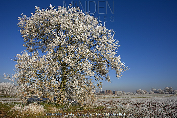Kenilworth Castle and mature tree covered in hoar frost, in ploughed field, Warwickshire, England, UK, December 2010