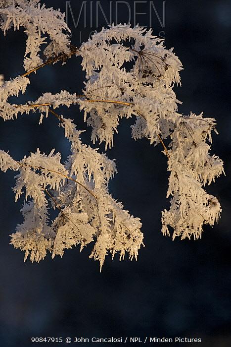 Hoar frost decorating seedheads, Warwickshire, England, UK