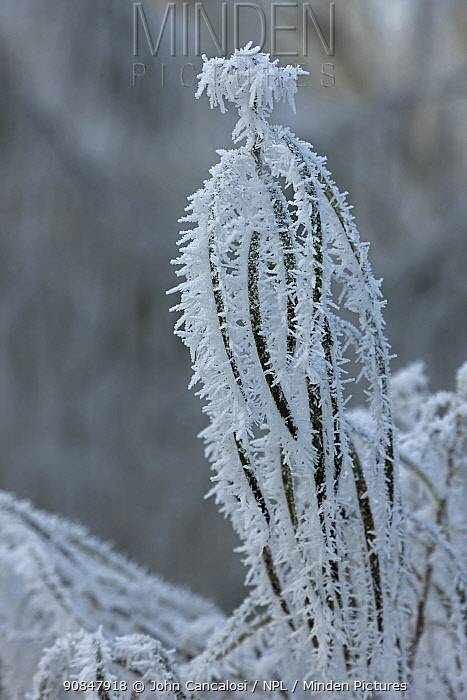 Osier stems (Salix viminalis) covered in hoar frost, Warwickshire, England, UK