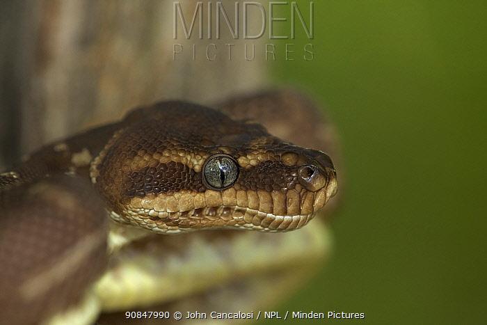 Rough scaled python (Morelia carinata) in defensive posture, head portrait, captive, from Australia