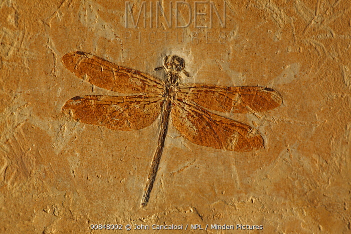 Fossil Dragonfly (Cordulagomphus fenestratus) from the Lower Cretaceous Period, 125 million years old. Araripe basin, Brazil