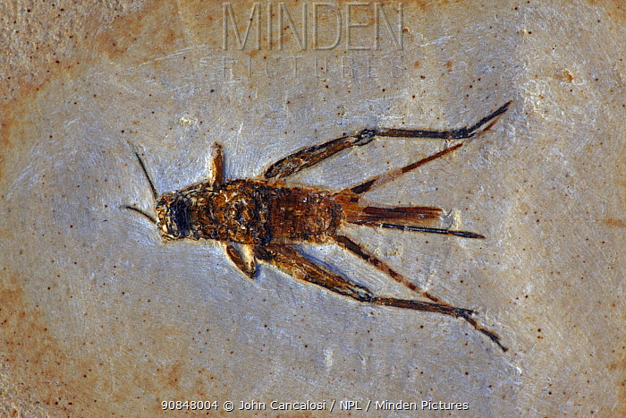 Fossil Cricket (species unknown) from the Early Cretaceous Period. Santana Formation, Brazil