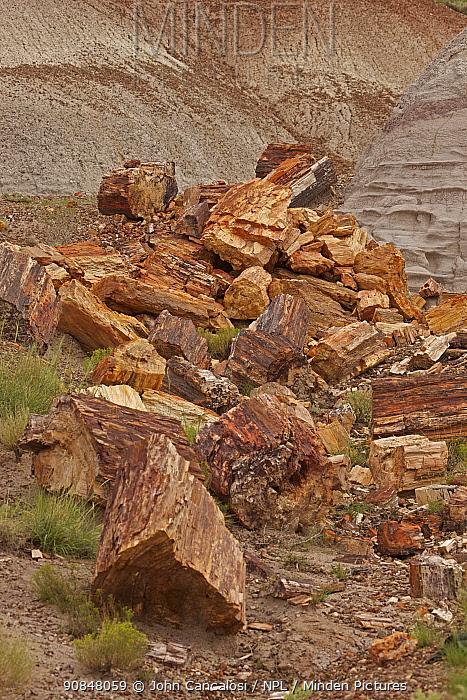 Petrified trees (Araucarioxylon arizonicum) from the Triassic period 200-250 million years ago, Petrified forest National Park, Arizona, August 2010