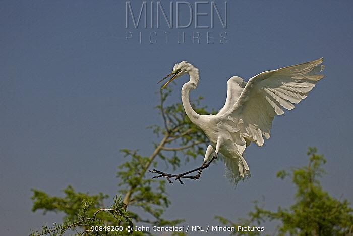 Great Egret (Ardea alba) calling in flight, landing in tree. Louisiana, USA, April.